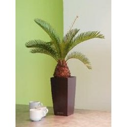 Supporting image for Cycus Palm in Black Maxi Pot