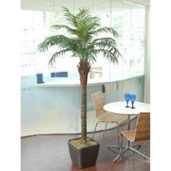 Supporting image for Phoenix Palm